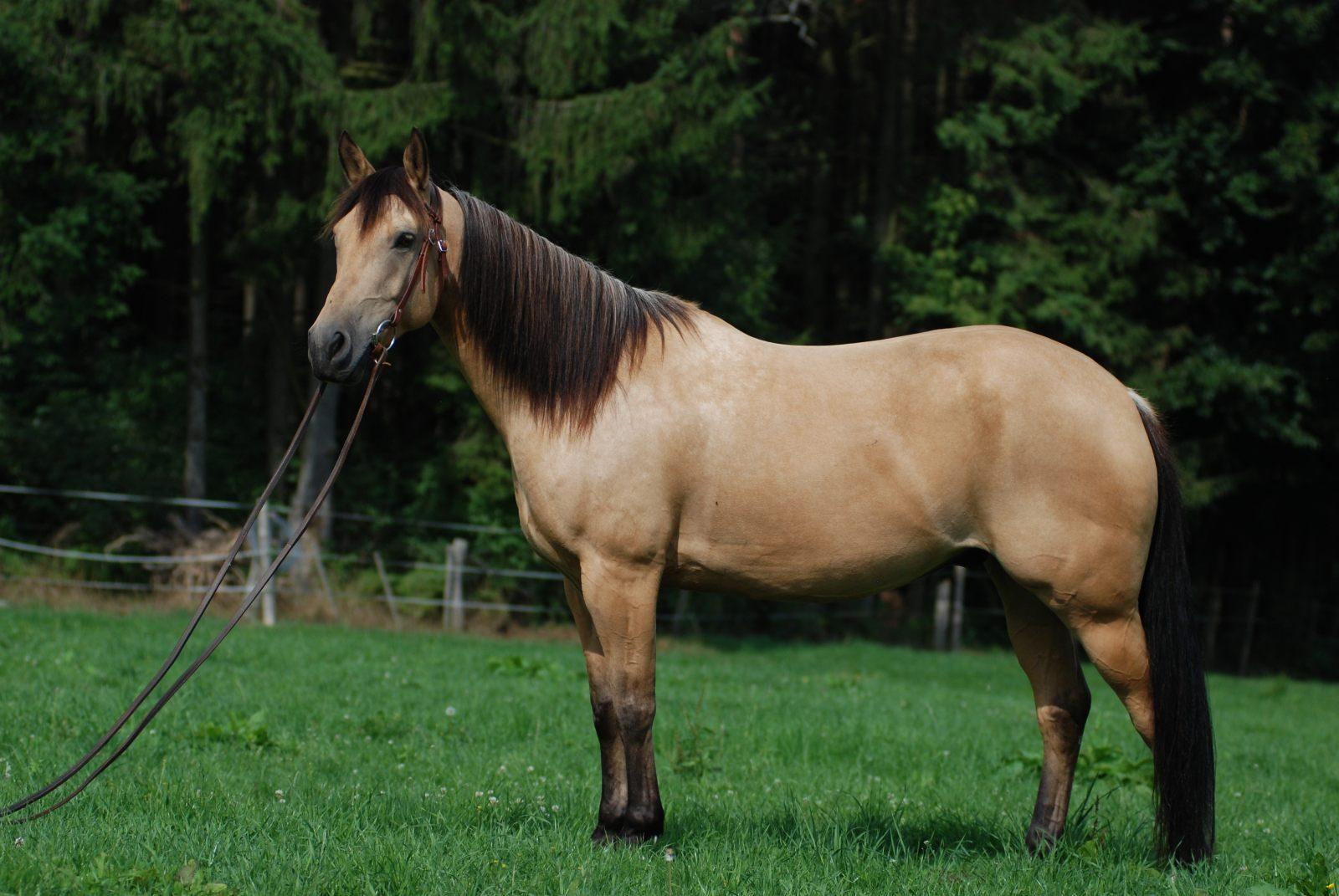 Quarter Horse Wallpapers Quarter Horse Backgrounds