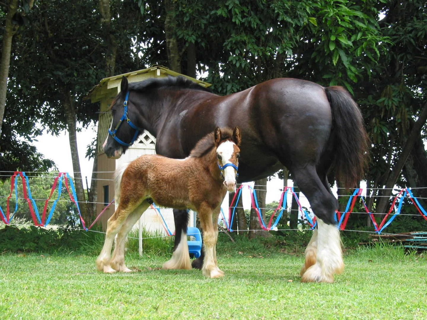 Caballos Clydesdale